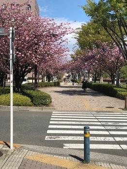 山桜 (1).jpg