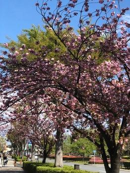 山桜 (2).jpg